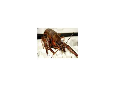 Photo Small Crawfish 2 Animal