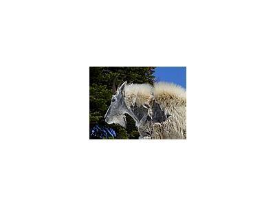Photo Small Mountain Goat Animal
