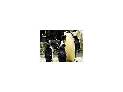Photo Small Penguins Animal