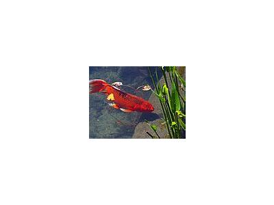 Photo Small Red Goldfish Animal