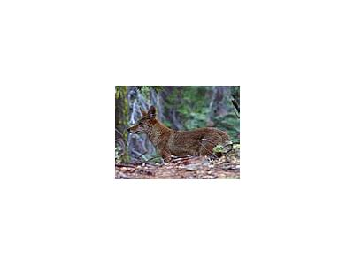 Photo Small Grey Foxes Animal
