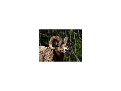 Photo Small Rocky Mountain Bighorn Sheep Animal