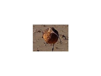Photo Small Sand Piper 2 Animal