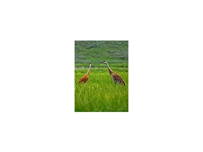 Photo Small Sandhill Cranes Animal