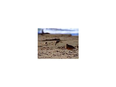 Photo Small Sand Piper Animal
