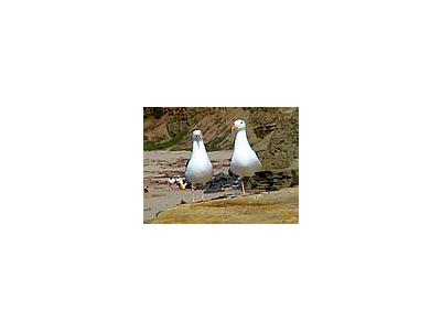 Photo Small Seagulls 2 Animal