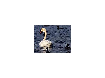 Photo Small Swan Animal