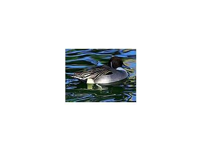 Photo Small Swimming Duck Animal