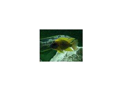 Photo Small Aquarium Fish 3 Animal