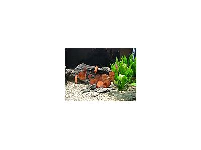 Photo Small Aquarium Fish 31 Animal