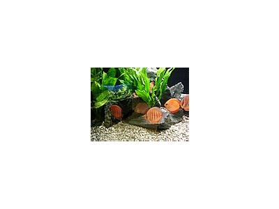 Photo Small Aquarium Fish 32 Animal