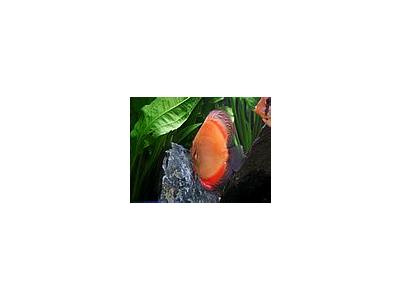 Photo Small Aquarium Fish 33 Animal