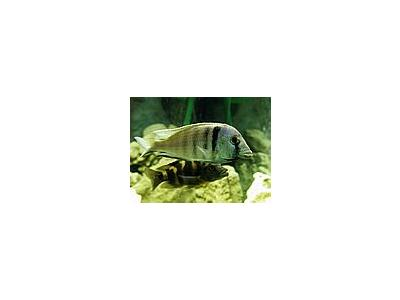 Photo Small Aquarium Fish 36 Animal