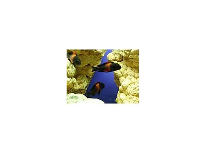 Photo Small Aquarium Fish 39 Animal