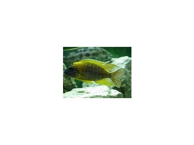 Photo Small Aquarium Fish 4 Animal