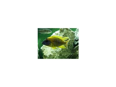 Photo Small Aquarium Fish 5 Animal