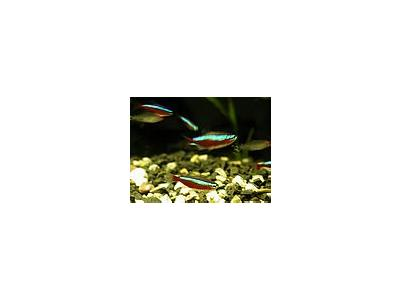 Photo Small Aquarium Fish 6 Animal