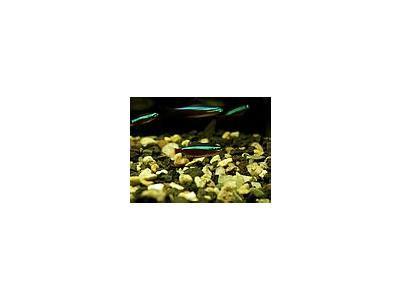 Photo Small Aquarium Fish 7 Animal