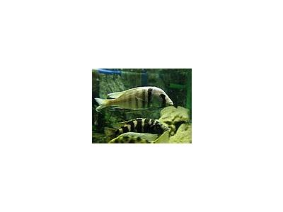 Photo Small Aquarium Fish 8 Animal