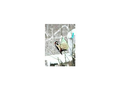 Photo Small Great Spotted Wookpecker Picking Tallow Ball Animal