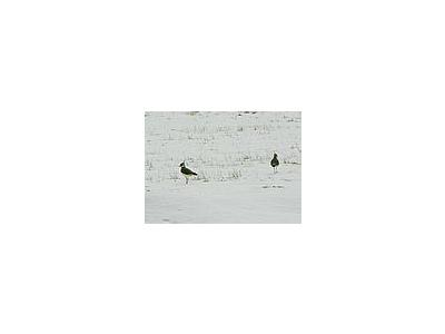 Photo Small Lapwings In Snowy Field Animal
