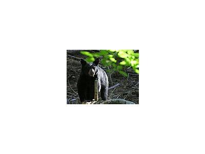 Photo Small Black Bear 2 Animal