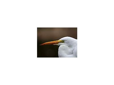 Photo Small Egret Animal