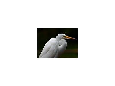 Photo Small Egret 2 Animal