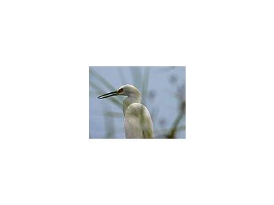 Photo Small Egret 4 Animal