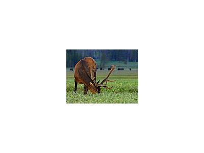 Photo Small Elk At Gibbon Meadow Animal