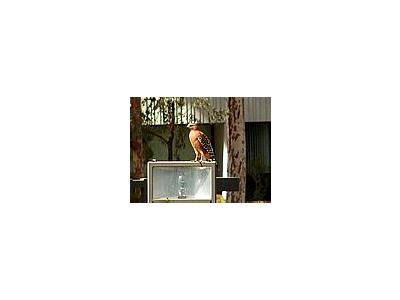 Photo Small Hawk Animal