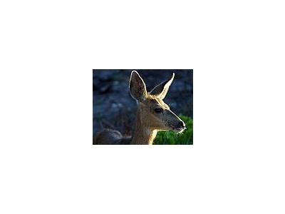 Photo Small White Tail Deer Animal