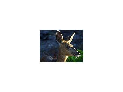 Photo Small White Tail Deer Animal
