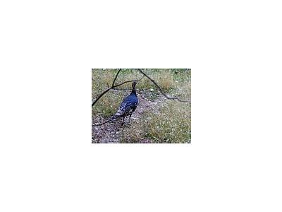 Photo Small Wild Turkey Animal