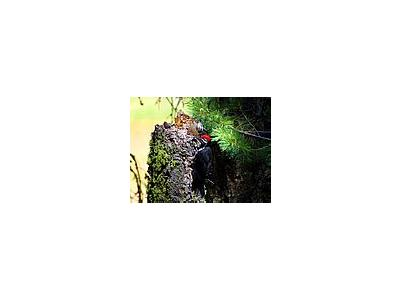 Photo Small Woodpecker 2 Animal