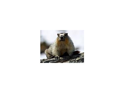 Photo Small Yellow Bellied Marmots Animal