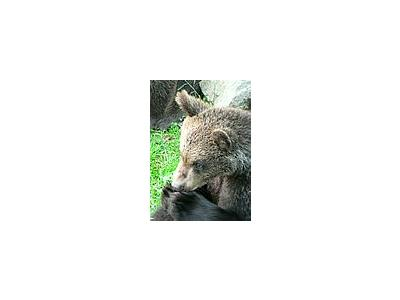 Photo Small Bear Eating Animal