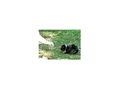 Photo Small Bird And Guinea Pig Animal