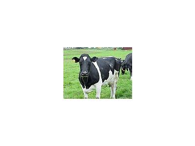 Photo Small Black And White Cow 2 Animal