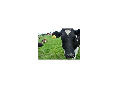 Photo Small Black And White Cow 3 Animal