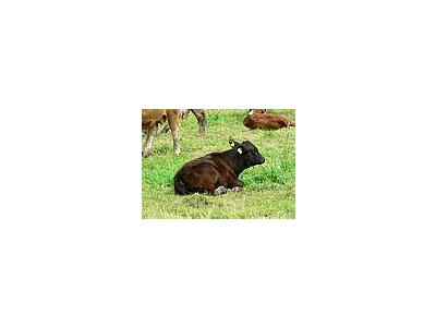 Photo Small Black Calf Lying In Pasture Animal