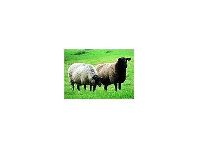 Photo Small Black Headed Sheep Animal