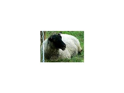 Photo Small Black Headed Sheep 3 Animal