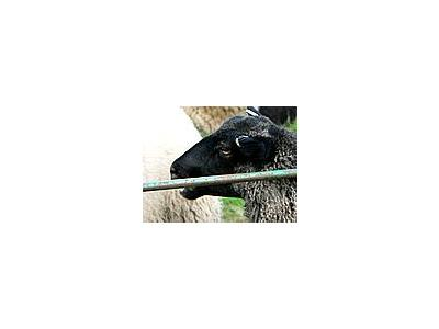 Photo Small Black Sheep Animal