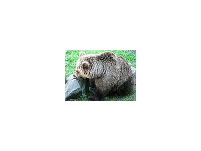 Photo Small Brown Bear Eating Fish Animal