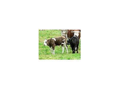 Photo Small Calves On The Move Animal
