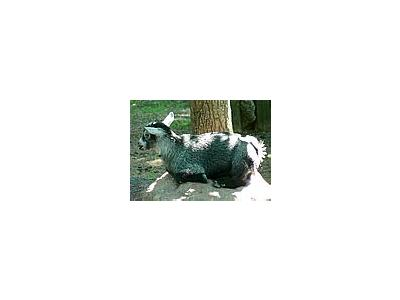 Photo Small Cute Goat Kid Animal