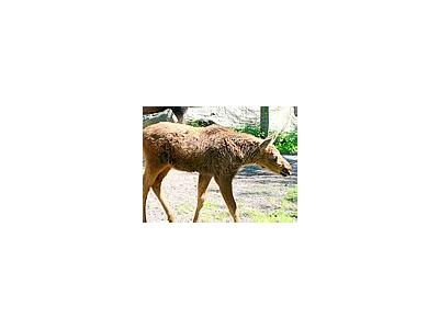 Photo Small Elk Calf Animal