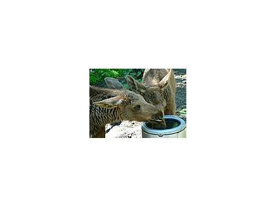Photo Small Elk Calves Drinking 2 Animal
