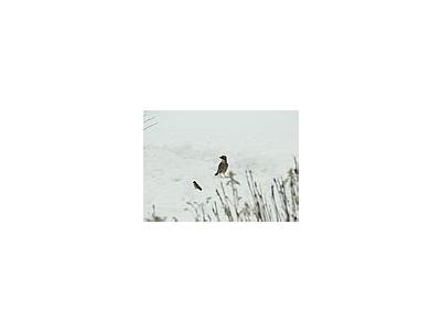 Photo Small Jay Standing In Snow Animal
